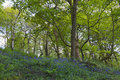 Bluebell forest beautiful carpet of flowers in spring landscape Stock Photos