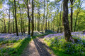 Bluebell forest. Royalty Free Stock Photo