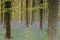 Bluebell forest morning light shines through haller wood belgium blue Stock Image