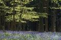 Bluebell forest morning light shines through haller wood belgium blue Stock Photos