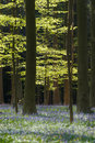 Bluebell forest morning light shines through haller wood belgium blue Royalty Free Stock Photography