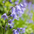 Bluebell Ringing Stock Photos