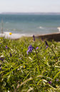Bluebell by the sea.