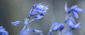 Bluebell Side View Royalty Free Stock Photo