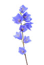 Bluebell on white blue wildflower isolated background with clipping path Stock Photo