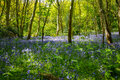 BlueBell Wood Royalty Free Stock Photo