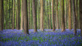 Bluebell wood of Hallerbos Royalty Free Stock Photo