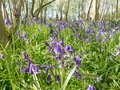 Bluebell wood low viewpoint of at reydon suffolk uk Royalty Free Stock Images