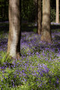 Bluebell wood with trees Royalty Free Stock Image