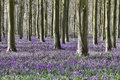 Bluebell woodland Stock Images