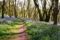 Bluebell woodland Royalty Free Stock Photo