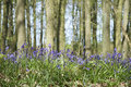 Bluebell woods ashridge hertfordshire Royalty Free Stock Photos
