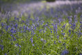 Bluebell woods beautiful in spring Stock Image