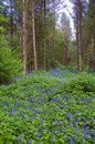 Bluebell woods english country spring woodland Royalty Free Stock Image