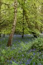 Bluebell woods with fresh green trees and ferns Stock Image