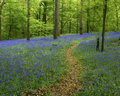 Bluebell Woods and path Royalty Free Stock Photo
