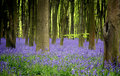Bluebells Royalty Free Stock Image