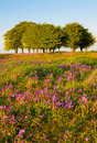 Bluebells and Beech trees on the Quantock Hills Royalty Free Stock Photo