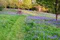 Bluebells carpet the ground in this open woodland, cut through by a grass path. Royalty Free Stock Photo