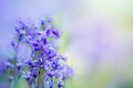 Bluebells close up beautiful flowers Royalty Free Stock Photo