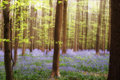 Bluebells de soleil Photo stock