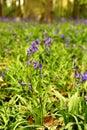 Bluebells Royalty Free Stock Photo