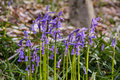 Bluebells flowers Hallerbos Royalty Free Stock Photo