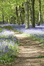 Bluebells Growing In Woodland Royalty Free Stock Images