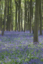 Bluebells in Itchen Woods Royalty Free Stock Photo