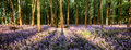 Bluebells in shadows long tree landscape Stock Image