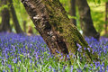 Bluebells in a spring forest Stock Photo