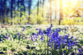 Bluebells in spring forest Royalty Free Stock Photo