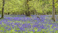 Bluebells In Spring Forest