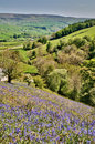 Bluebells on a sunny hillside Stock Images
