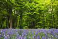 Bluebells in a woodland clearing Royalty Free Stock Photos