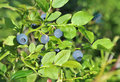 Blueberrie Royalty Free Stock Photo