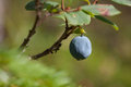 Blueberrie in a forest Royalty Free Stock Photo