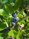 Blueberries 1 Stock Photos