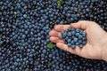 Blueberries as healthy diet for elderly people. Royalty Free Stock Photography