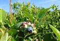 Blueberries blueberry farm at central florida Royalty Free Stock Images