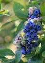 Blueberries on a branch macro close up of with green leaf Royalty Free Stock Photography
