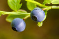 Blueberries closeup after the rain Stock Photos