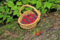 Blueberries and cranberries in a wooden basket in the woods Royalty Free Stock Photography