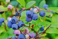 Blueberries Dwarf Shrubs With Ripe Fruits Cultivated In Garden