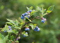 Blueberries fresh ripe outdoor close up shoot Stock Image