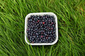 Blueberries freshly picked in the grass Stock Photos