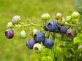 Blueberries fruit Royalty Free Stock Photos