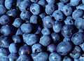 Blueberries fruit blue background for a natural and healthy eating concept as a blueberry nature symbol of a health focused Royalty Free Stock Images