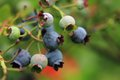 Blueberries In The Green Nature