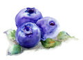 Blueberries with leaves watercolor illustration Stock Photos